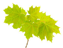 Branch with  young leaves of the maple. Royalty Free Stock Photos