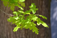 Branch with young leaves of an oak of petiolate (Quercus robur L.), lit with the sun.  Royalty Free Stock Photo