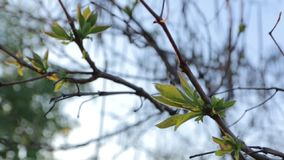 Branch with young leaves. In spring, Catalpa tree stock video