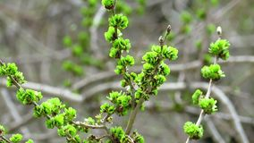 Branch with young leaves stock video footage