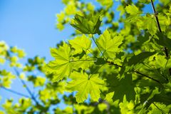 Maple tree in the sky Royalty Free Stock Photos