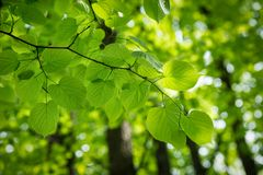 Branch of young solar green leaves Royalty Free Stock Photos