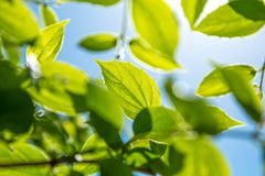 Branch of young solar green leaves Royalty Free Stock Image
