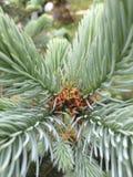 Branche à feuilles persistantes Images libres de droits