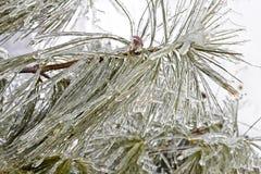 Branche à feuilles persistantes gelée Photos libres de droits
