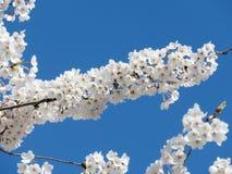Branche élevée 2018 de fleurs de cerisier de parc de Toronto Photo libre de droits
