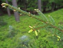 Branche дерева детенышей елевое с свежим зеленым ростком стоковая фотография rf