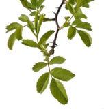 Branche avec des feuilles Photo libre de droits