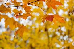 Branche avec les feuilles jaune-rouges d'érable dans la chute images stock