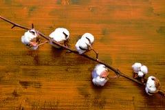 Branche avec les fleurs pelucheuses blanches molles de coton photo stock