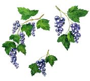 Branche of black currants Royalty Free Stock Photo