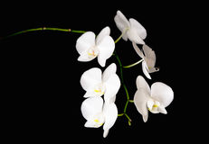Branche blanche d'orchidée Photos libres de droits