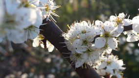 Branche blanche de Blossem de prunellier Photo stock