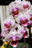 Branche blanche et pourpre de Phalaenopsis Photo libre de droits
