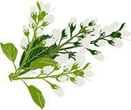 Branche blanche se développante d'isolement de ressort Photographie stock