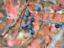 Branche bleue de berbéris Photographie stock