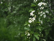 Branche of blooming apple tree -  spring Royalty Free Stock Photo