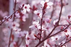 Branche bloosoming d'amande rose Photos libres de droits