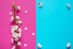 Branche of blossoming apricot on the blue and pink background. Beautiful floral spring frame with blooming tree. Spring flowers. S. Branche of blossoming apricot Royalty Free Stock Images