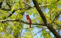 Branche cardinale masculine de Perching On Tree Photos stock