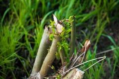 Branche cassée parmi l'herbe image libre de droits