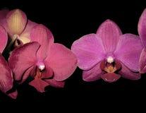 Branche colorée de phalaenopsis d'orchidée d'isolement sur le noir images libres de droits