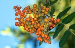 Branche complètement des baies de sorbe rouges dans le jardin Image stock