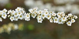 Branche complètement des fleurs blanches Images stock