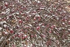 branche couverte de neige de pommier sauvage avec les fruits rouges Photographie stock libre de droits
