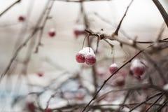 branche couverte de neige de pommier sauvage avec les fruits rouges Images stock