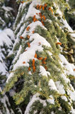 branche couverte de neige de sapin sur la rue dans Pomorie, hiver de la Bulgarie Images libres de droits