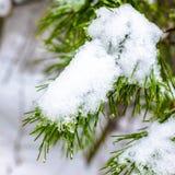 Branche couverte de sapin de Noël avec la neige et baisses dans des avants d'hiver Photos stock
