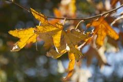 Branche d'érable avec des feuilles Images stock