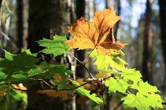 Branche d'érable dans la forêt d'automne Images stock