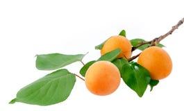Branche d'abricot Photo libre de droits