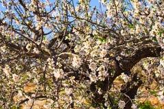 Branche d'amande fleurissante photo stock
