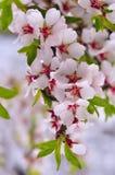Branche d'amande fleurissante Photo libre de droits