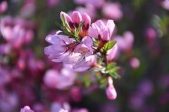Branche d'amande fleurissante photographie stock libre de droits
