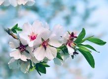 Branche d'amande Floraison de ressort Image stock