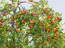 Branche d'Appel avec les pommes rouges Photo libre de droits