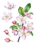 Branche d'aquarelle de pommier de floraison illustration stock