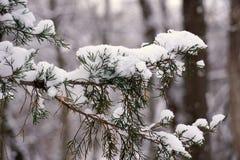 Branche d'arbre à feuilles persistantes après neige fraîche image libre de droits