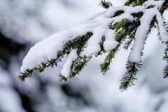 Branche d'arbre à feuilles persistantes couverte par neige au passage Washington de Snoqualme Photo libre de droits