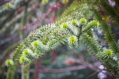 Branche d'arbre à feuilles persistantes de singe-puzzle Photo libre de droits