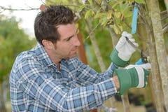 Branche d'arbre d'élagage d'horticulteur photo libre de droits
