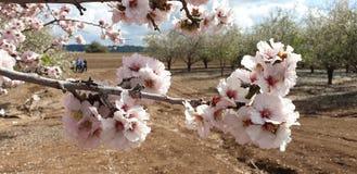 Branche d'arbre d'amande de floraison illuminée par le soleil dans un jardin près de Jérusalem, Israël photographie stock