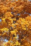 Branche d'arbre avec des feuilles d'automne Photographie stock libre de droits