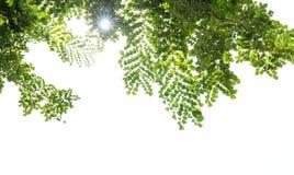 Branche d'arbre avec des feuilles de vert d'isolement sur le blanc Photos stock