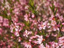Branche d'arbre avec le fond de floraison de fleurs roses images libres de droits