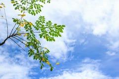 Branche d'arbre avec les feuilles sur des nuages et le fond de ciel bleu de la vue d'angle faible Image stock